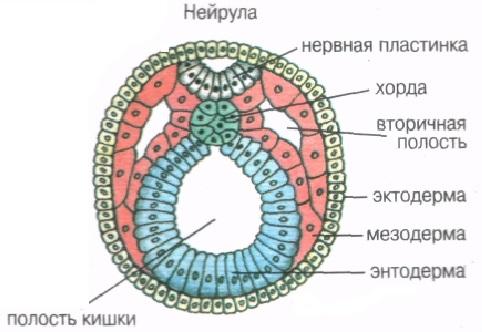 Что такое мезодерма в биологии определение. что такое мезодерма и каково ее развитие? видео об образовании из мезодермы