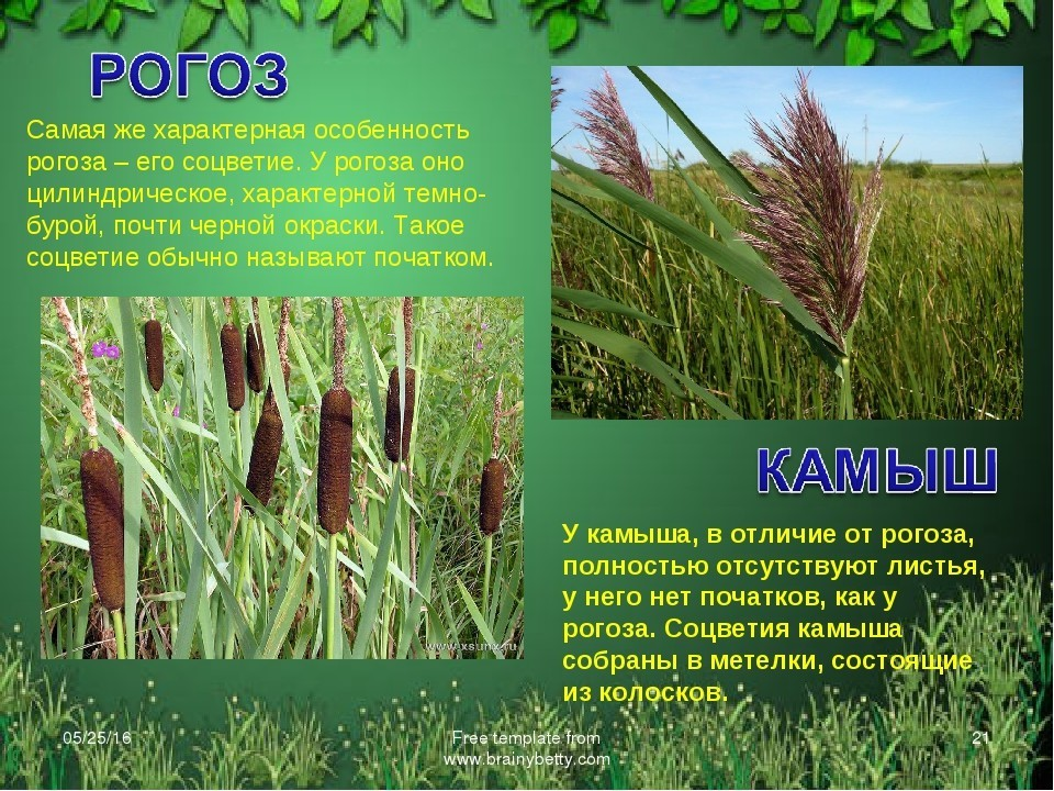 Камыш: описание и фото растения, применение и виды