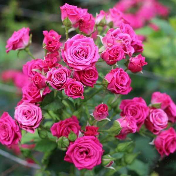 Спрей розы: что это такое, лучшие сорта с фото, названиями и описаниями