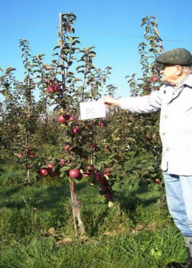 Клоновые подвои яблони, характеристика, размножение, использование