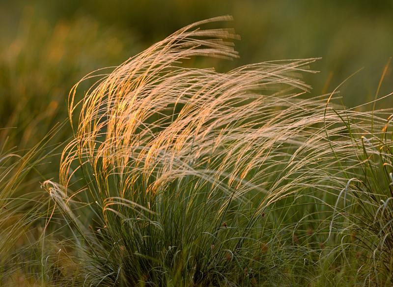 Растение ковыль - разновидности, фото и лечебные свойства