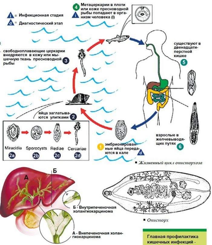 Паразиты — какие паразиты живут в организме человека