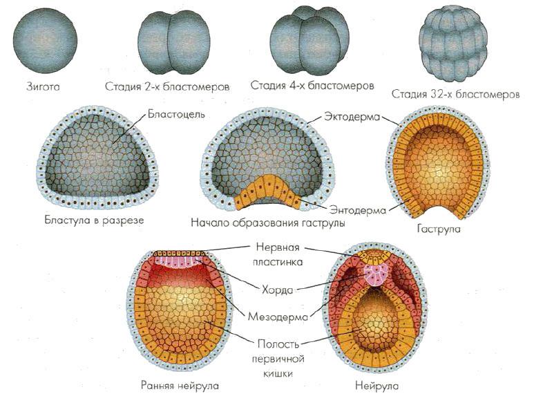 Нейрула – это стадия развития зародыша