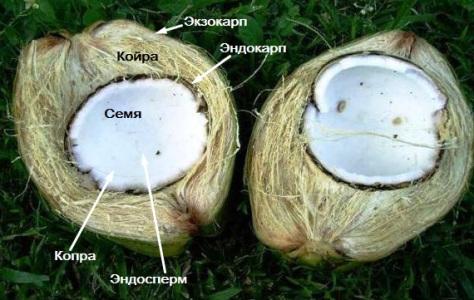 Чем полезна мякоть кокоса? полезные свойства и противопоказания