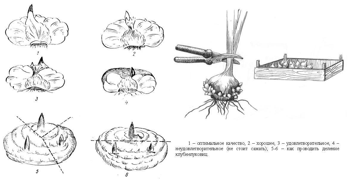 Цветы гладиолусы: виды и сорта