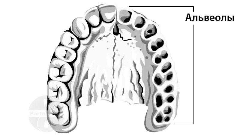 Альвеолы во рту: что это такое, где находятся, фото