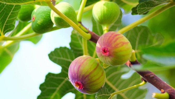 Инжир (фиговое дерево, смоковница)