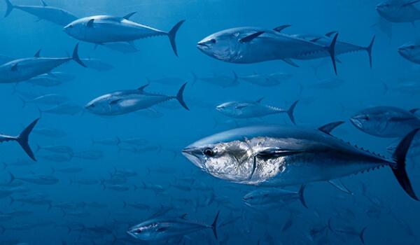 Тунец рыба морская или речная рыба. тунец: виды, свойства и способы приготовления