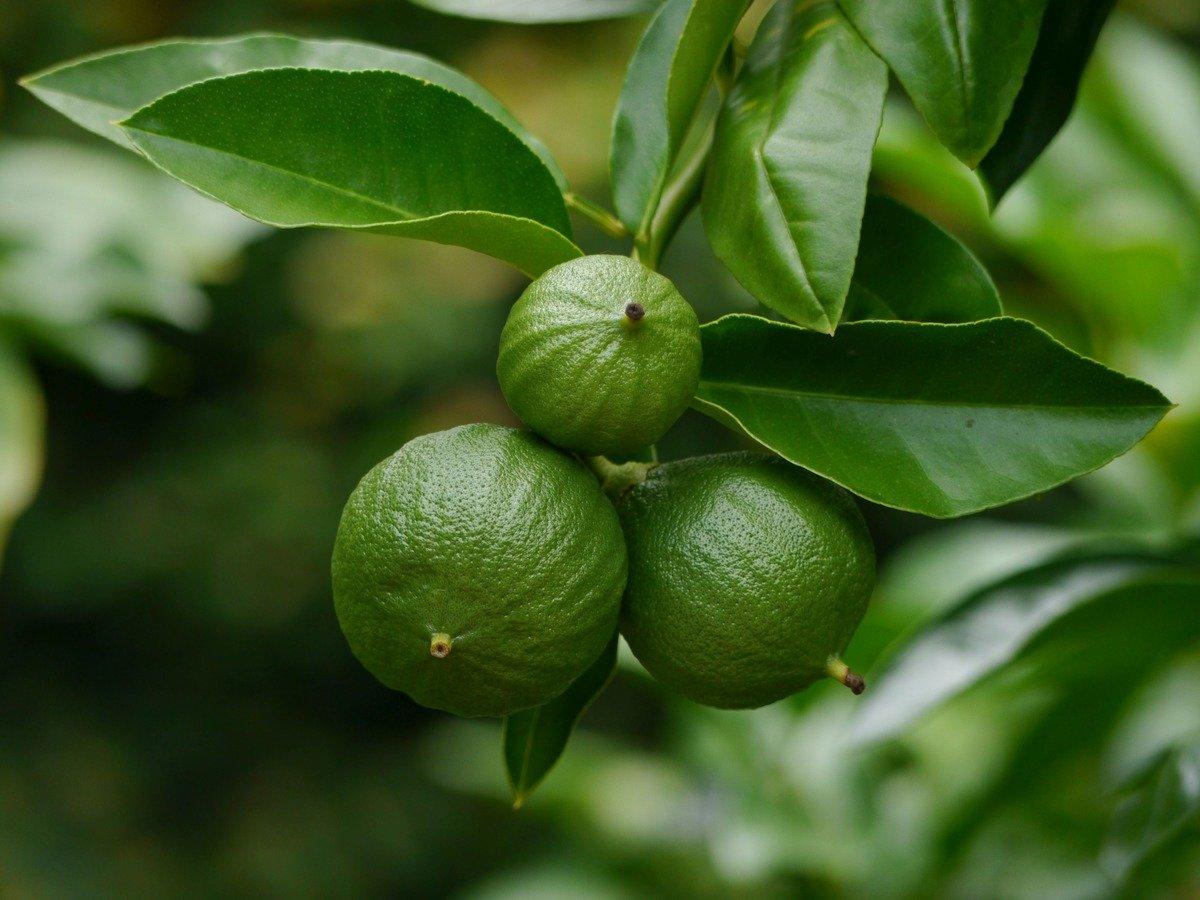 Бергамот - что это за растение, как выглядит на фото, полезные свойства и применение эфирного масла