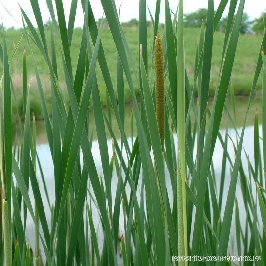 Растение водоема камыш: фото и описание, как вырастить декоративный вид на приусадебном участке