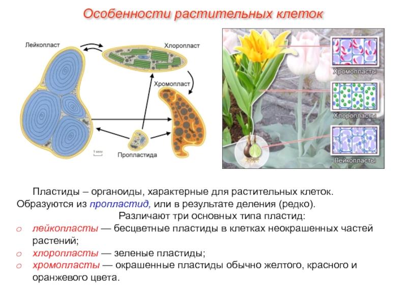 Пластиды | cell biology.ru