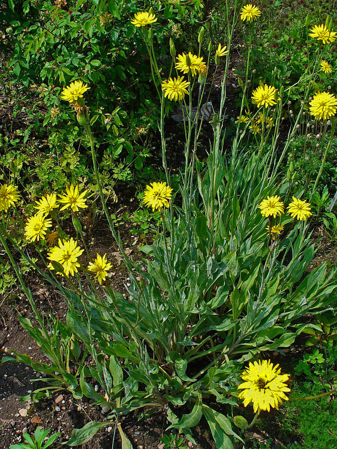 Скорцонера: выращивание из семян, сорта, уход