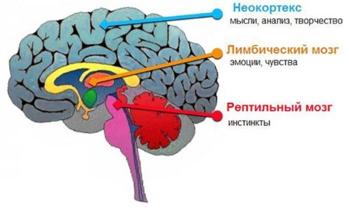 §39. происхождение неокортекса. происхождение мозга