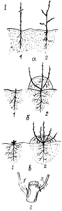 Что такое подвой и как его вырастить?