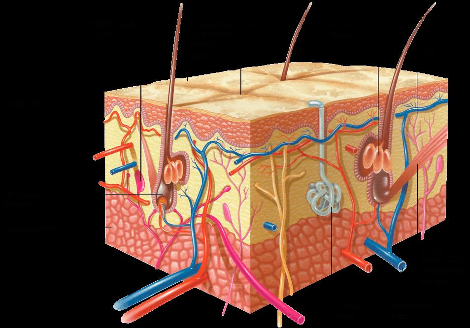 Эпидермис - строение, функции.