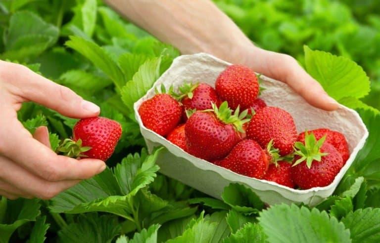 Клубника (37 фото): что это такое и как она выглядит, это фрукт или ягода и какого она цвета, виды свежей вкусной клубники