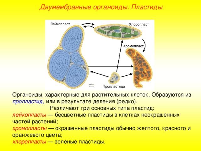 Пластиды - их строение и функции: растительная клетка, что такое лейко- и хромопласты, хлорофилл | tvercult.ru