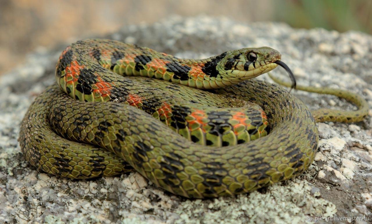 Как отличить ядовитую змею от неядовитой и как себя вести