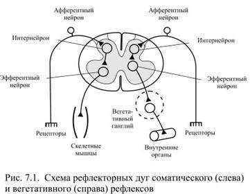 Строение рефлекторной дуги. рефлекторное кольцо. физиология нервной системы