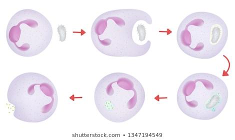 Фагоцитоз: определение, механизм и стадии процесса