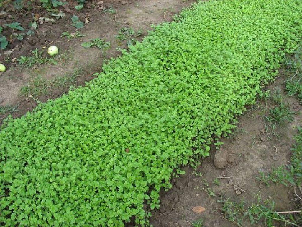Что такое сидераты — зачем нужны и как их применять на даче и огороде