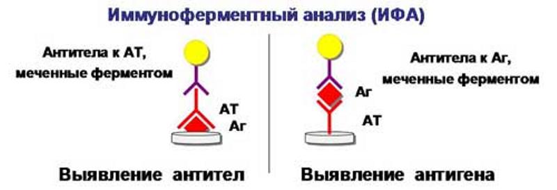 Иммуноферментный анализ крови (ифа): расшифровка, показания