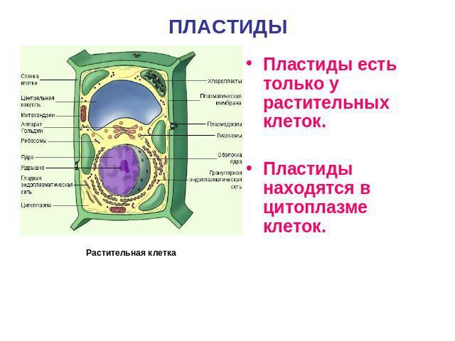 Пластиды в клетке | строение, функции и виды клеточных органоидов