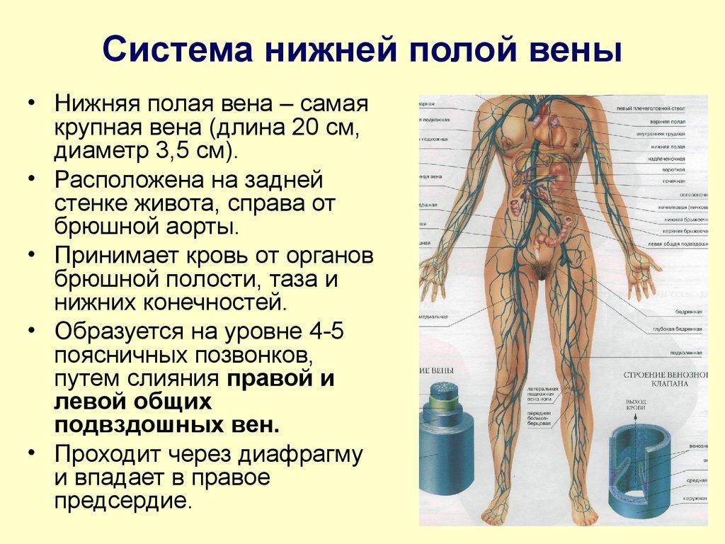Вена (анатомия)