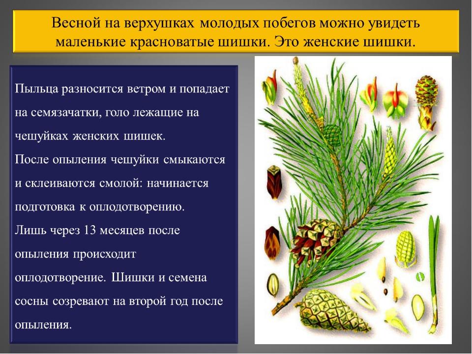 Голосеменные растения, особенности строения, размножение, примеры, основные признаки и характеристика, интересные факты, значение и разнообразие голосеменных растений в природе