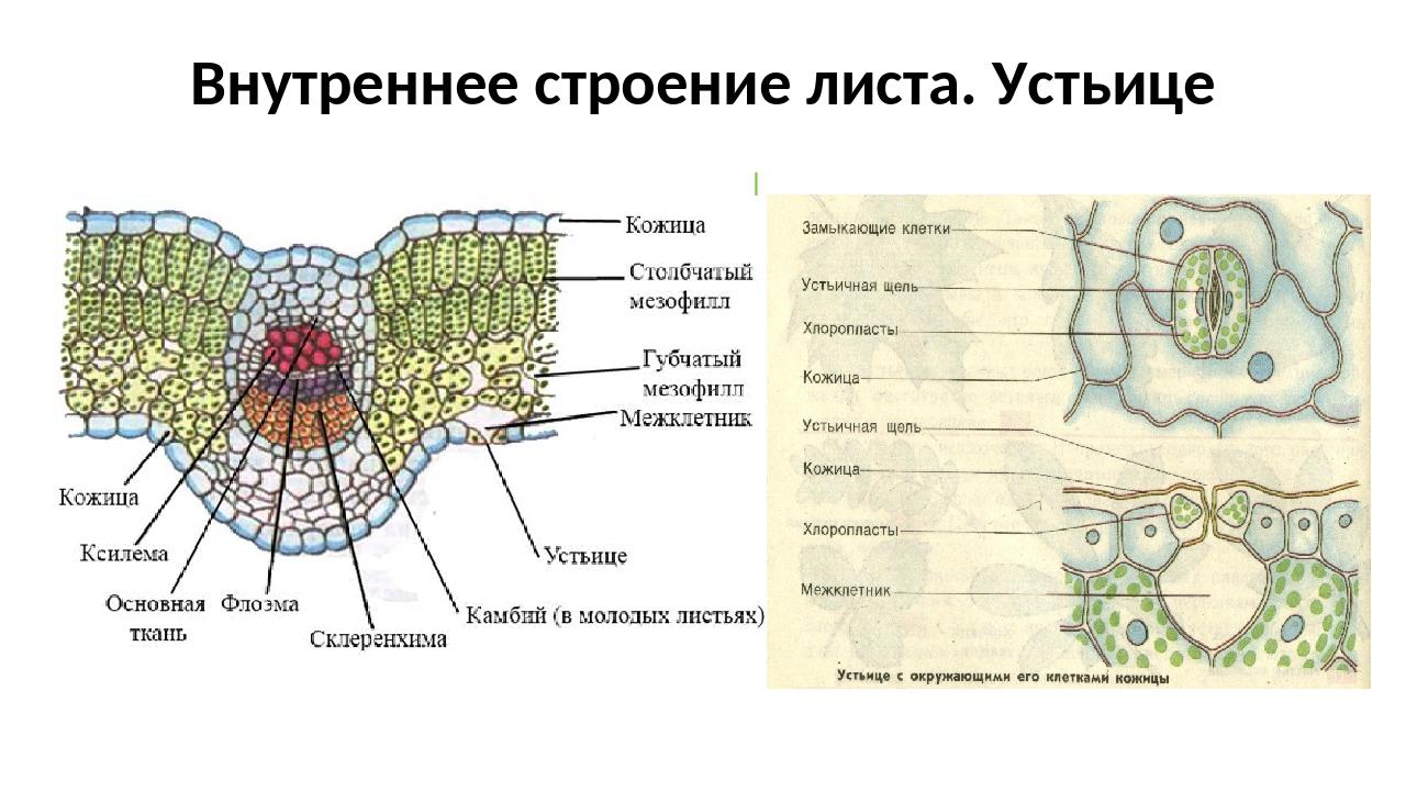 Что такое устьице