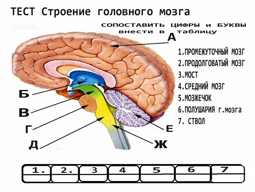 Мозжечок головного мозга - строение и функции
