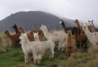 Лама. среда обитания и особенности ламы   животный мир