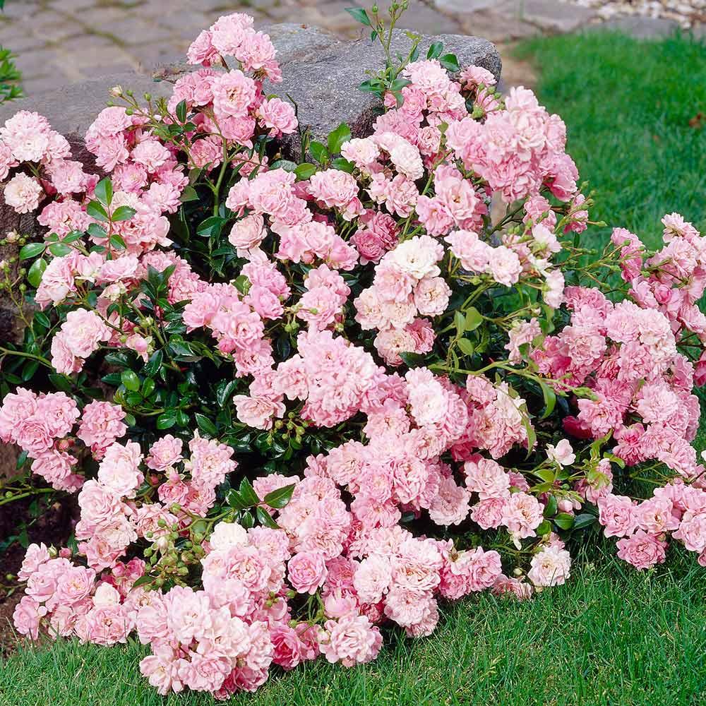 В каком уходе нуждаются розы полиантового сорта?