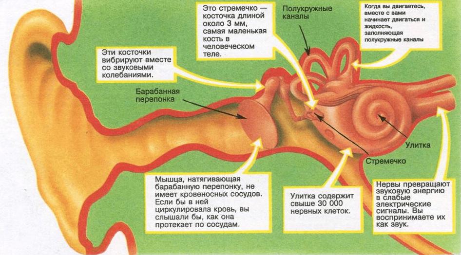 Ухо человека
