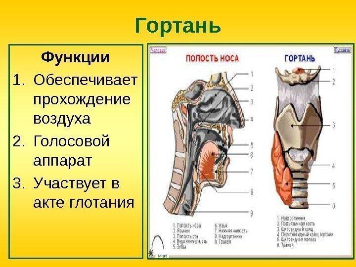 Гортань: строение и функции, анатомия, отделы, кровоснабжение, топография, устройство, части, преддверие и вход в гортань