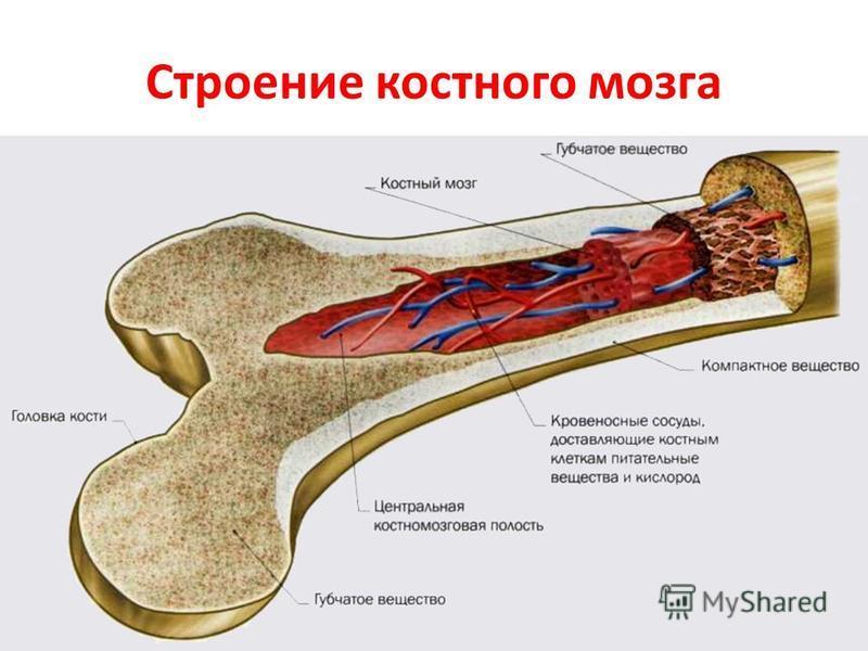 Интересно и не скучно про костный мозг: значение, строение, функции