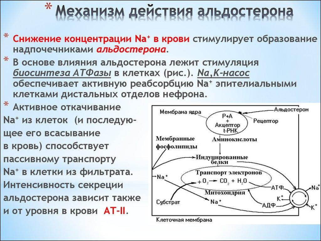Альдостерон - что это такое? основной минералокортикостероидный гормон коры надпочечников у человека. альдостерон: норма, функции и роль в организме