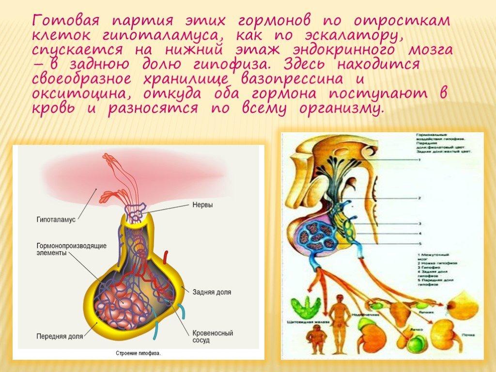 Гипоталамус: что это такое и за что он отвечает, диагностика и лечение заболеваний
