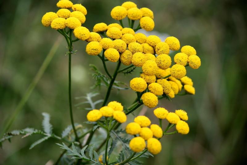 Трава пижма: полезные свойства, противопоказания и применение растения