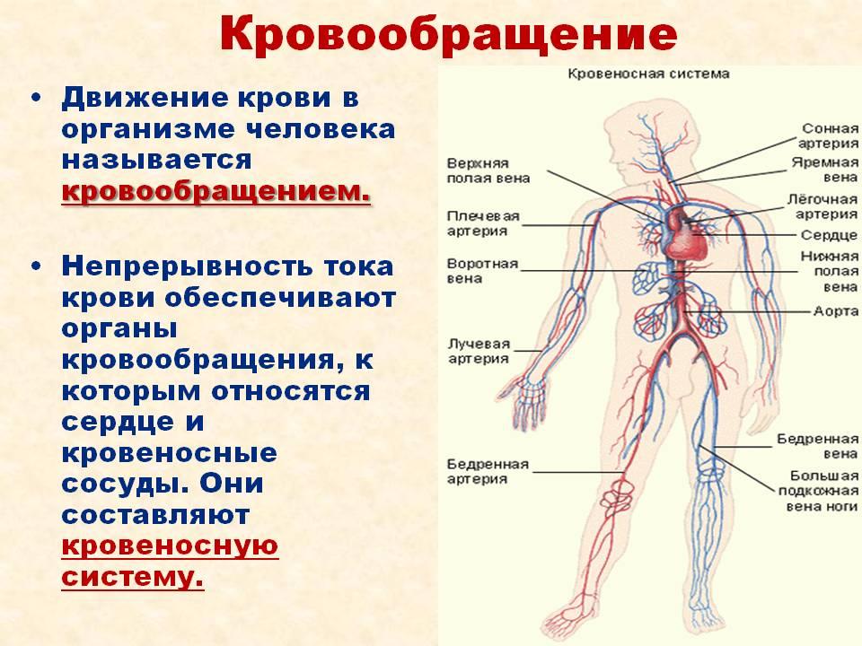 Что такое артерии: строение, виды, система артерий