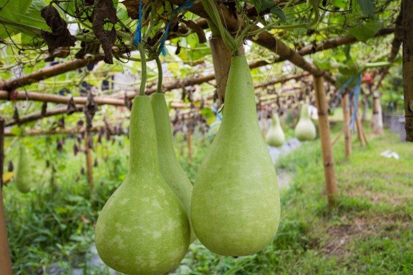 Лагенария: выращивание и уход