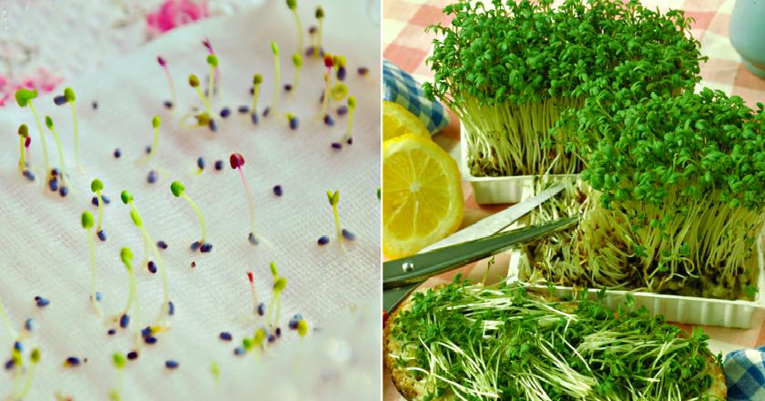 Микрозелень дома — простые правила выращивания. необходимый инвентарь, польза. фото — ботаничка.ru