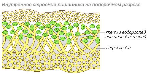 Что такое слоевище? морфология и функции таллома