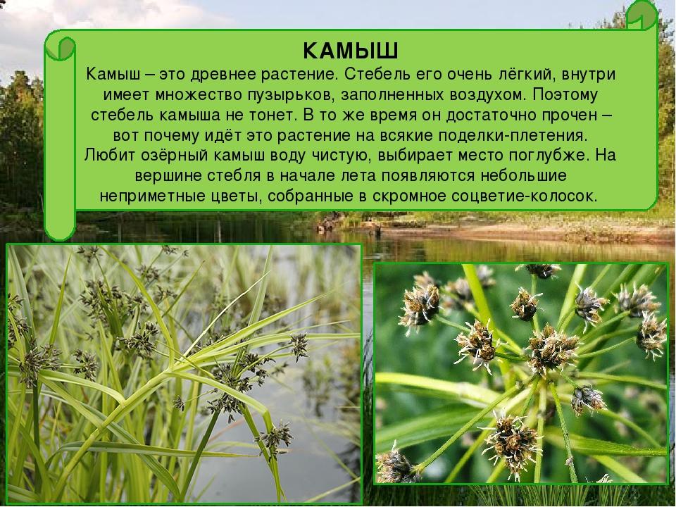 Камыш: описание растения, правила ухода и использование