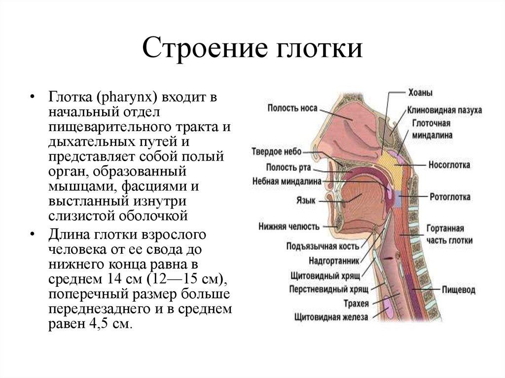 Нормальное, физиологическое строение гортани и основные функции