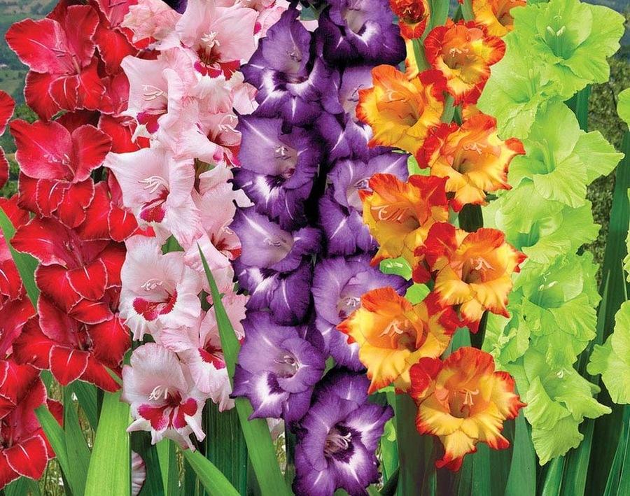 Цветы гладиолусы: как выращивать шпажник, видео посадки, сорта
