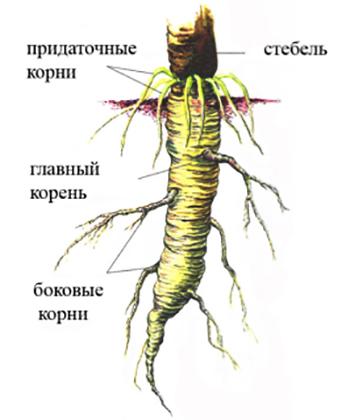 Корневища - это видоизменения побега, находящиеся под землей