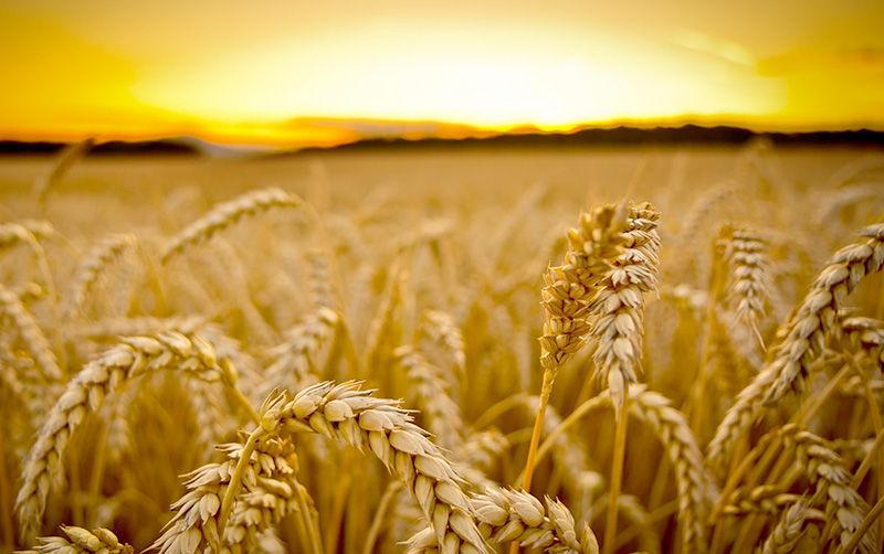 Пшеница — традиция