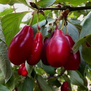 Кизил - полезные свойства ягод и косточек. польза кизила и противопоказания