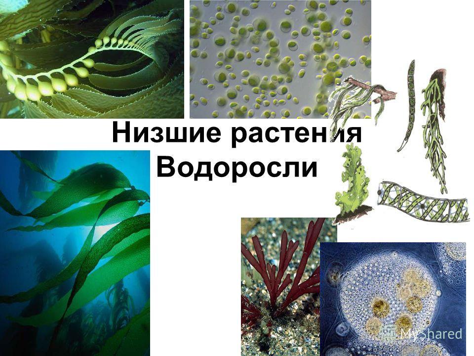 Растения низшие
